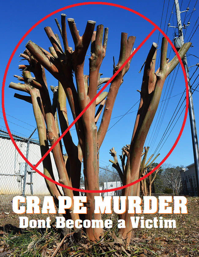 Crape Murder Improper tree pruning