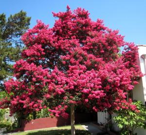 crape myrtle tree proper pruning
