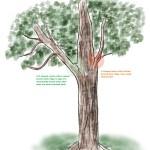 codominant tree
